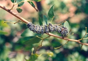 Mopane Caterpillar
