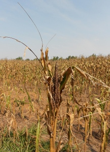 Corn in drought, Western Kentucky, August, 2012 by CraneStation via Flickr (http://creativecommons.org/licenses/by/2.0/deed.en_GB)