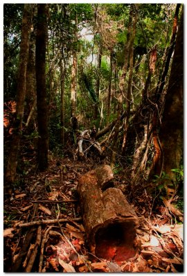 Illegally felled rosewood log in Marojejy National Park, Madagascar.  The original author does not wish to be named for safety reasons.  This file is licensed under the Creative Commons Attribution-Share Alike 3.0 Unported license