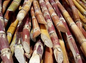 Cut sugarcane waiting for transport and processing. © 2013 Wikimedia Commons.