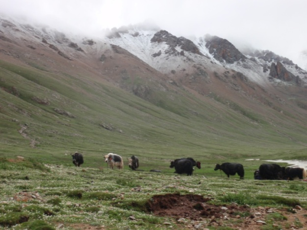 Yaks in a summer pasture, eastern Nagchu, Tibet, July 2009 (Photography by Yonten Nyima)