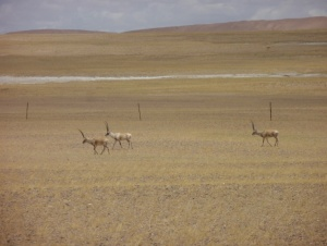 Tibetan antelopes in a fenced pasture where livestock grazing is banned, Pelgon, Tibet, July 2010 (Photography by Yonten Nyima)