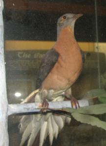 Passenger Pigeon (image credit: Trisha M Shears)
