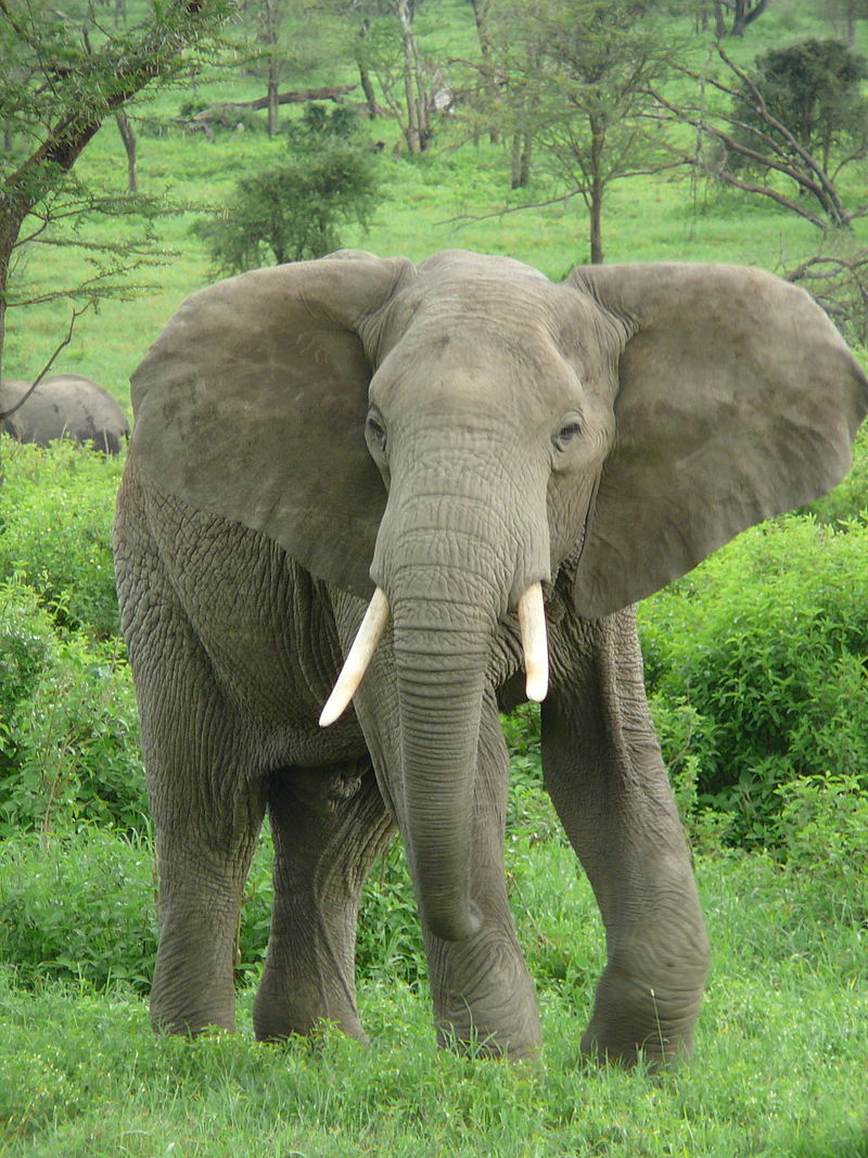 Cosmopolitan Elephants: Conservation Publics & The Ivory Trade