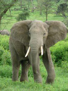 800px-Elephant_near_ndutu