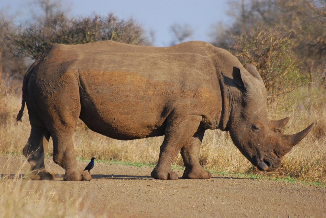 Rhinoceros_RSA