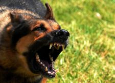 An aggressive dog Source: Wikimedia Commons