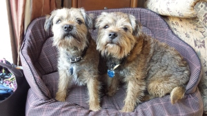 The author's own pampered pet pooches, Mitch (left) and Monty (right)
