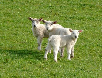 Lambs: a typical Spring scene Source: Wikimedia Commons