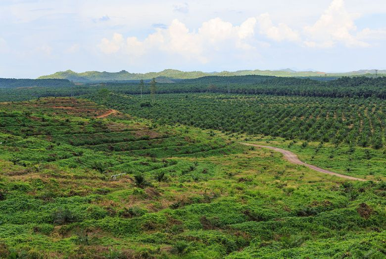 District Kunak, Sabah: A oilpalm plantation along the Malaysia Federal Route 13 with different stadiums of oil palm growing.