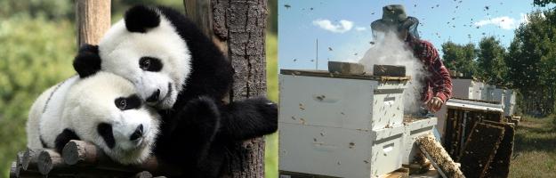 figure-1-panda-bees