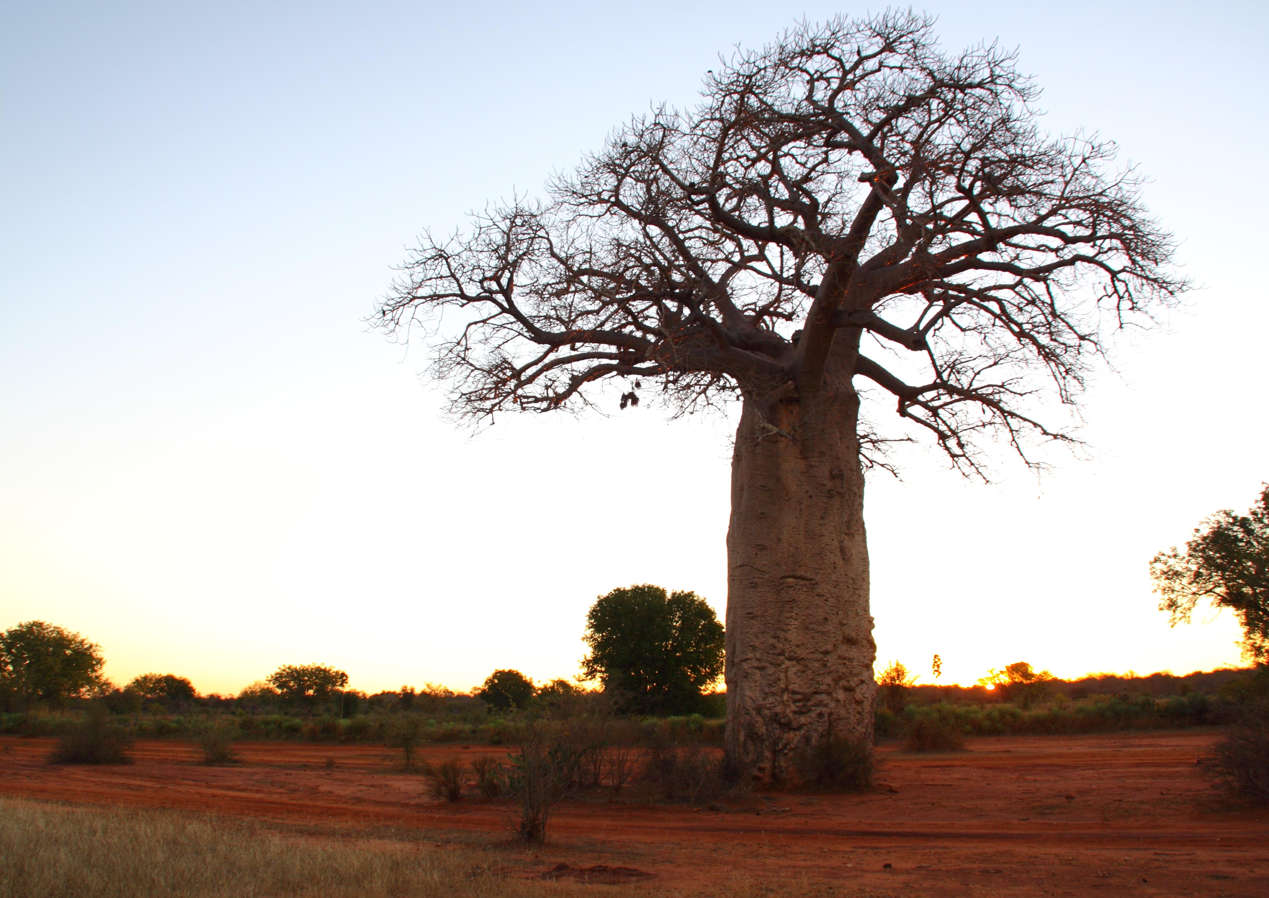 Baobob tree on the Mahafaly Plateau © Jacques Rakotondranary