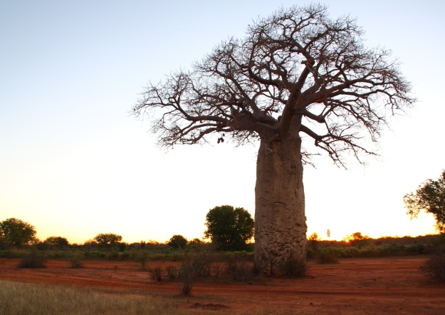 Baobob tree on the Mahafaly Plateau © Jacques Rakotondranary